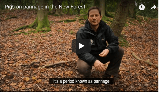 Pannage explained by New Forest National Park Authority