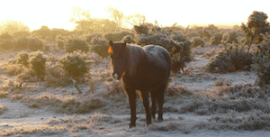 Pony in the New Forest with frosty ground
