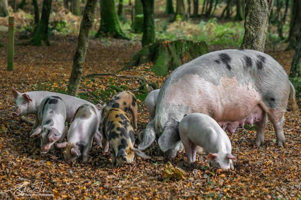New Forest pannage every autumn pigs eating acorns - image by Steve Elson