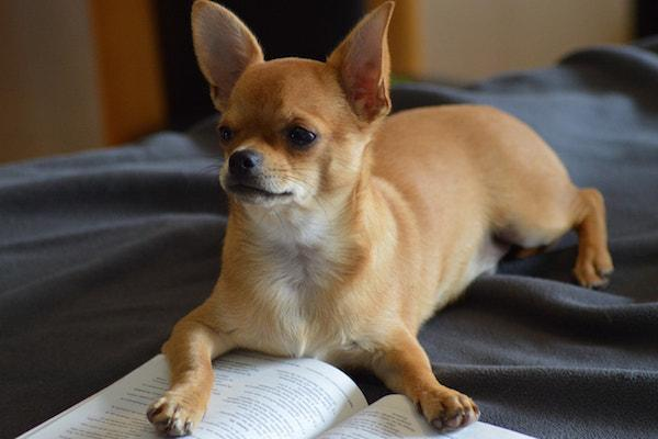 chihuahua reading a book