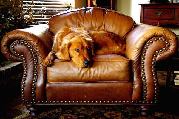 dog sitting in leather armchair
