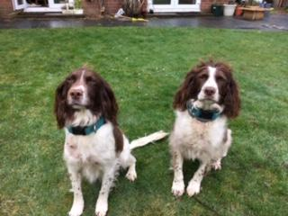 oscar happy dogs springers boettger aero mum ruby daughter