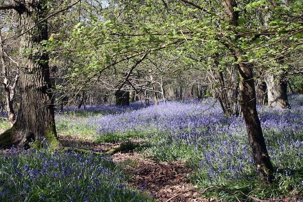 Where to find Bluebells near Lymington and the New Forest