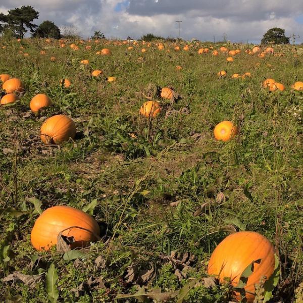 Pumpkins at Goodalls Pick-your-own Farm